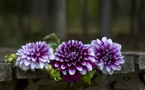 Picture flowers, background, dahlias