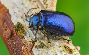 Picture macro, blue, background, beetle, insect, bark, bug, brilliant, pusateri