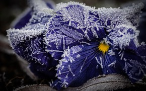 Picture winter, frost, leaves, macro, snow, flowers, ice, purple, crystals, Pansy, violet, late autumn, frost, viola, …