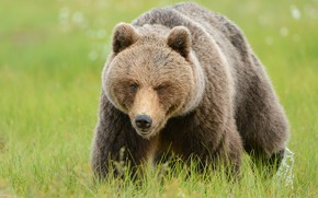 Picture greens, summer, grass, look, face, nature, pose, glade, bear, walk, lawn, brown