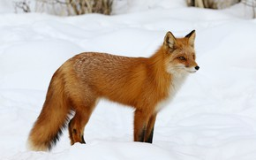 Picture winter, look, snow, nature, pose, Fox, the snow, red, is, Fox, Fox