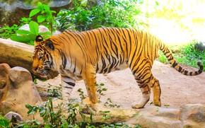 Picture tiger, tiger, the Amur tiger, animal, Amur tiger