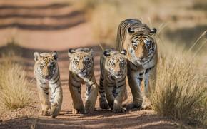 Picture tiger, walk, tigers, tigress, the cubs