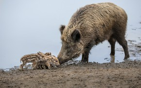 Picture lake, wild, pigs, pig, boars