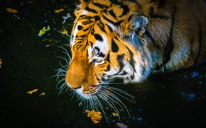 Picture autumn, face, leaves, tiger, the dark background, bathing, pond