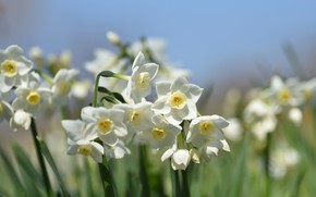 Picture spring, white, daffodils