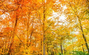 Picture autumn, forest, trees, color, beauty, bright, yellow