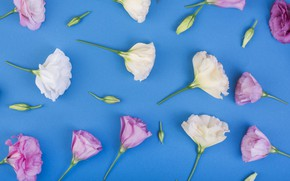 Picture flowers, background, pink, white, pink, flowers, eustoma, eustoma