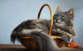 Picture cat, cat, look, face, pose, comfort, grey, background, wall, blue, basket, portrait, fluffy, tail, lies, …