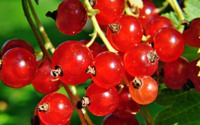 Picture macro, berries, currants, red currant
