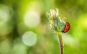 Picture plant, ladybug, bokeh