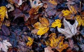 Picture leaves, foliage, a lot, autumn leaves