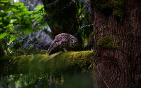 Picture forest, look, branches, nature, pose, the dark background, tree, owl, bird, moss, branch, trunk, grey, …