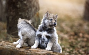 Picture dogs, puppies, a couple, Husky, Andrew Kazuno