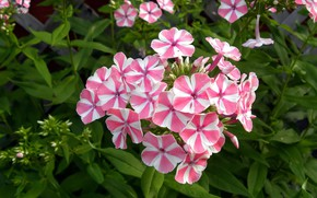 Picture pink, striped, Phlox