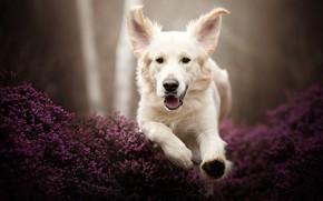 Picture face, dog, running, ears, Golden Retriever, Golden Retriever, Heather