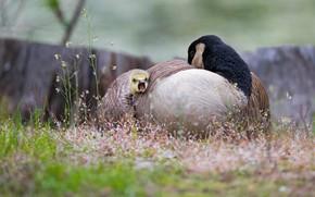 Picture birds, nature, pose, bird, stems, glade, spring, beak, baby, flowers, duck, mom, duck, chick, goose, …