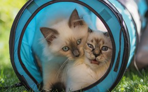 Picture summer, grass, look, cats, nature, kitty, basket, the game, pair, kittens, kitty, blue eyes, a …
