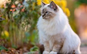 Picture cat, cat, pose, garden, muzzle, white, sitting, bokeh, fluffy, ragdoll
