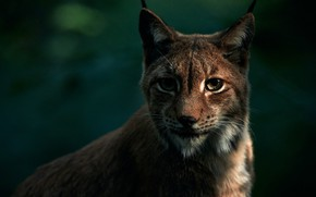 Picture eyes, look, face, the dark background, portrait, lynx