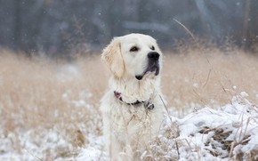Picture winter, snow, nature, portrait, dog, white, Retriever