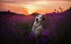 Picture field, look, sunset, flowers, dog, lavender