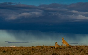 Picture the storm, field, the sky, clouds, rain, pair, the shower, two, cheetahs