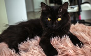 Picture cat, cat, look, pose, kitty, black, lies, fur, kitty, yellow eyes