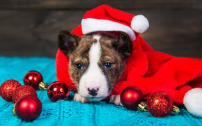 Picture look, balls, red, pose, holiday, balls, Board, Shine, portrait, dog, scarf, baby, Christmas, puppy, red, …