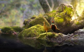 Picture birds, nature, stones, tree, moss, a couple, pond, pheasants, Thai Phung
