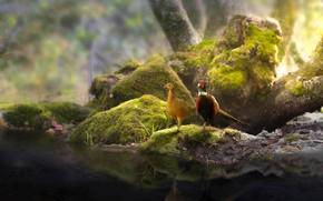 Wallpaper birds, nature, stones, tree, moss, a couple, pond, pheasants, Thai Phung