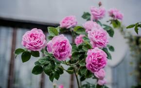 Picture pink, rose, Bush, tea rose, tea