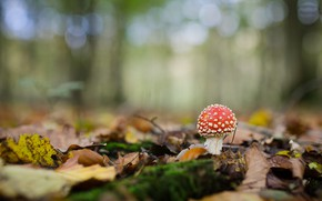 Picture autumn, forest, leaves, background, glade, mushroom, mushroom, bokeh, fungus