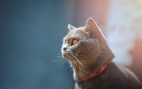 Picture cat, cat, look, face, grey, background, blue, portrait, collar, British, smoky
