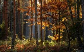 Picture autumn, forest, trees, landscape, nature, shoots, Radoslaw Dranikowski