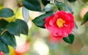 Picture flower, leaves, background, Bud, red, scarlet, bokeh, Camellia