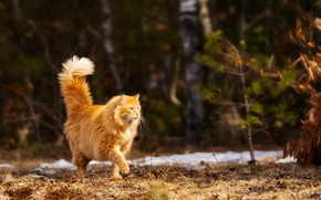 Picture nature, red cat, walks by himself