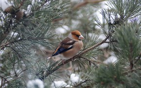 Picture branches, bird, pine, Grosbeak, photohunt