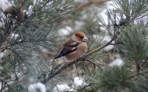 Picture branches, bird, pine, Grosbeak, photohunt