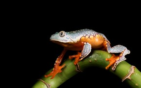 Picture look, macro, pose, frog, stem, black background, green, composition, spotted