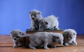 Picture cats, kitty, kittens, book, kitty, kids, company, grey, a lot, five, British, brood, five, five …