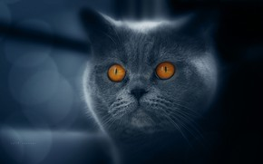 Picture eyes, cat, breed