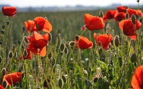Picture field, summer, light, flowers, nature, Mac, Maki, red, buds, al, poppy field