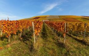Picture field, autumn, photo, vine