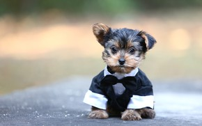 Picture background, dog, costume, puppy