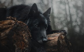 Picture dog, look, lies, Anastasia Temnova, black, logs