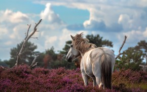 Picture flowers, horse, horse, Heather