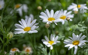 Picture field, summer, leaves, light, flowers, glade, chamomile, blur, meadow, white, green background, bokeh, leucanthemum