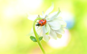 Picture white, flower, macro, yellow, red, background, ladybug, beetle, blur, insect, bug, bokeh