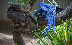 Picture grass, blue, pose, tree, bird, wings, feathers, parrot, Ara
